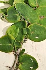 pagong pagongan (dragon scales) (DOLCEVITALUX) Tags: plants fauna flora philippines medicinalplants dragonscales pagongpagongan