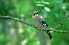 Jay, Blashford Lakes (David Blandford photography) Tags: bird woodland jay wildlife hampshire hide trust blashfordlakes