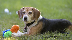 Rosie (020489) (Mike S Perkins) Tags: rescue dog beagle grass yellow toy outdoors chewing