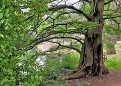Dawn Redwood (Metasequoia)......China (standhisround) Tags: china uk trees england kewgardens lake tree london kew redwood metasequoia dawnredwood
