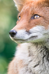 Watchful (LawrieBrailey) Tags: uk red wild portrait england urban colour eye female canon photography eos photo eyes thea adult britain wildlife ii fox saturation 7d british mk vixen lightroom vulpesvulpes lawrie 100400l vulpes brailey notbaited wwwlawriebraileycouk