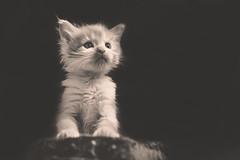 Weasley (thoma.melanie) Tags: bw pet cats baby pets white black cute animal sepia cat kitten kat sweet small maine adorable kitty kittens cutie gato blackground coon katze katzen kater creamy petit gatito ktzchen gattino  katzi