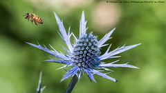 Sea Holly and Friend (P6181135-Edit) (Michael.Lee.Pics.NYC) Tags: newyork flower insect inflight bokeh olympus bee nybg mkii markii newyorkbotanicalgarden seaholly em5 mc14 40150mmpro28