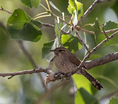 Bewick's Wren (Thryomanes bewickii) (mesquakie8) Tags: bird utah adult wren bewickswren washingtoncounty thryomanesbewickii 2234 bewr sittingonatreebranch redcliffscg