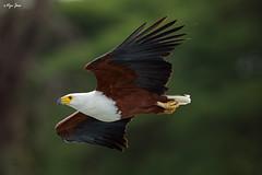 African Fish Eagle in flight (V I J U) Tags: africa travel nature birds flying fishing eagle kenya wildlife flight safari ke canon5d eagles nakuru raptors hunt birdsofprey 2016 africanfisheagle lakenaivasha karagita ef500mmf4lisii vijujose