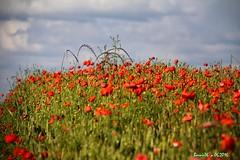 Les coquelicots dans les nuages . (Barnie76@ , en stand by a plus) Tags: nature fleurs ciel normandie paysage campagne coquelicots pavots canon60d
