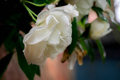 Rose Bush (williams19031967) Tags: uk england sky flower wet rain rose countryside drops bush country cream olympus bunch omd wellingborough em1