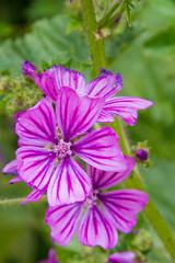 IMGA8698.jpg (AlanBut) Tags: christchurch dorset flora mallow wick bournemouth england unitedkingdom