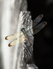 Day 175 (rendezvousnu) Tags: eulalie projecteulalie project365 dragonfly nature outdoor wings translucent