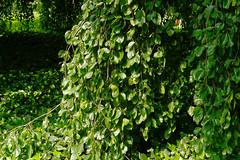 Buche in Hiltrup - 2016 - 0012_Web (berni.radke) Tags: tree giant baum beech mnster buche colossus riese hiltrup