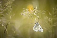 Attraper le pompom (Mathieu Calvet) Tags: wild blur nature butterfly pentax bokeh lepidoptera 300mm explore papillon 300 mariposa blured k3 tlobjectif tarnetgaronne midipyrnes explored da300f4