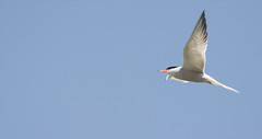 Common Tern (abritinquint Natural Photography) Tags: bird vogel natural wildlife nature wild nikon d7200 telephoto 300mm pf f4 300mmf4 300f4 nikkor teleconverter tc17eii pfedvr germany tern common commontern gull luxembourg fly swoopflying back white