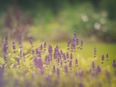 Summer Dreams (Quitschiehund) Tags: bokeh sommer natur blumen grn garten bunt lavendel meyergrlitz primoplan