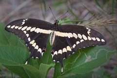 Giant swallowtail (jim_mcculloch) Tags: dsc8607 butterflies lepidoptera
