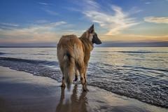 Beach Watch  [Explore] (GLASman1) Tags: sunset puppy star lakemichigan belgian tervuren empirebeach sleepingbeardunesnatllakeshore leelanaucomichigan