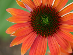 orange coneflower (foxtail_1) Tags: echinacea coneflower hahnhorticulturegarden hahngarden hahngardens