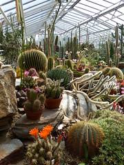 P1100419 (jrcollman) Tags: cactus plants germany munich echinocereus echinocactusgrusonii cplant botanicalgardensmunich