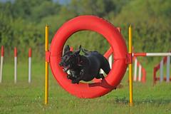 Flying...... (MWBee) Tags: dog warrington nikon cheshire ring moore d750 blacklabrador dogagility moorecameraclub mwbee
