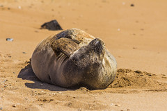 monkseal11Jun17-16 (divindk) Tags: hawaii hawaiianislands kauai neomonachusschauinslandi beach cute endangeredspecies hawaiianmonkseal lazy marine marinemammal monkseal seal sunshine whiskers
