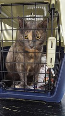 Josie at the Vet Hosptial. (~ MCJ) Tags: josie rescuecat 10yo greybluecreamtortoiseshell radioactiveiodinetreatment