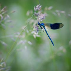 Ingolstadt - Germany (Nobsta) Tags: donau danube bavaria bayern germany deutschland fuji xt1 fujinon nik colorefex ingolstadt extensiontube libelle dragonfly