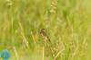 Common Grasshopper-Warbler (Locustella naevia)