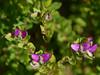 Polygala myrtifolia, Canning Dam, near Perth, WA, 25/05/16 (Russell Cumming) Tags: plant weed perth westernaustralia polygala polygalaceae canningdam polygalamyrtifolia