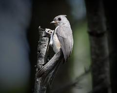 Tufted Titmouse (fledgling) (malarchie) Tags: woodlandpark tuftedtitmouse baeolophusbicolor riflecamppark