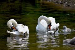 Swan's (Glenn Pye) Tags: bird nature birds swan nikon wildlife cygnet swans d7200 nikond7200