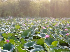 Water Lilies (jessicablier) Tags: china wuhan international flowers lilies lily waterlilies nature beautiful