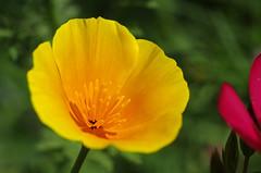 Thse-la-Romaine (Loir-et-Cher) (sybarite48) Tags: france flower fleur yellow jaune flor amarillo amarelo gelb giallo  blume fiore geel californiapoppy bloem iek sar loiretcher  kwiat   eschscholtziacalifornica  ty eschscholtzia     pavotdecalifornie  thselaromaine