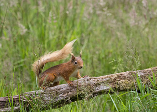 Red Squirrel ~ Explored