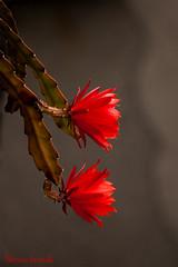 Cactus (lady_blue_andorra) Tags: red cactus flower andorra andorralavella canon1785mm canon50d
