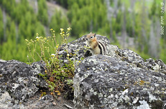 Trailside golden mantled ground squirrel (V. C. Wald) Tags: yellowstonenationalpark goldenmantledgroundsquirrel uppergeyserbasin biscuitbasin mysticfalls callospermophiluslateralis mysticfallsoverlook
