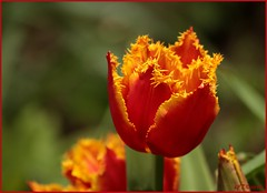 5 mei 2013  tulp in de tuin (guus timpers) Tags: red home yellow garden tulip tuin geel rood tulp