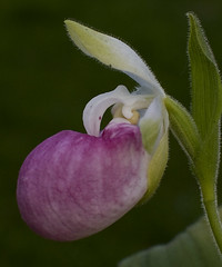 Cypripedium reginae (Ramsis'07) Tags: pink white orchid flower green orchidaceae cypripediumreginae flowerscolors flowerwatcher hardyterrestrialorchids