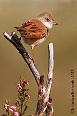 Papa-amoras-comum ( Sylvia communis )  Common Whitethroat (franois26) Tags: naturaleza bird portugal nature birds europe wildlife natureza aves ave birdwatching vilareal sabrosa commonwhitethroat sylviacommunis wildlifephotography biodiversidade  canonef300mmf4lisusm mywinners papaamorascomum franciscobernardo  canoneos7d cizos franois26