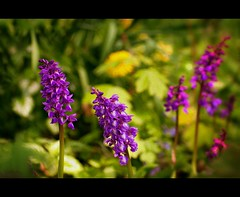 Earth laughs in flowers (W.P.K) Tags: orchid color love nature netherlands leaves garden botanical photography photo spring nikon purple stock nederland deep ground soil orchidee speckled ducth stockphoto stockphotography d90 goudriaan gevlekte wpk wpk2