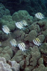sergeant school (BarryFackler) Tags: ocean life sea fish nature water ecology animal coral fauna island hawaii polynesia bay marine underwater pacific being dive scuba diving sealife pacificocean tropical marinebiology diver bigisland aquatic reef creature biology undersea kona mamo ecosystem coralreef sergeantmajor marinelife vertebrate zoology seacreature marineecology organism damselfish honaunau konacoast hawaiicounty southkona hawaiiisland 2013 hawaiiansergeant marineinvertebrate honaunaubay marineecosystem westhawaii hawaiiansergeantmajor konadiving bigislanddiving hawaiidiving sealifecamera abudefdufabdominalis barryfackler barronfackler aabdominalis