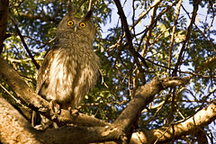 AS_000002847 (dickysingh) Tags: travel wild india color bird nature horizontal forest wildlife jungle owl rajasthan birdofprey ranthambore noman eagleowl ranthambhorenationalpark duskyeagleowl largeowl bubocoromandus wwwranthambhorecom