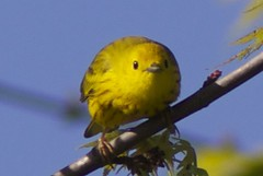 Yellow warbler (Henry McLin) Tags: usa birds pennsylvania hanover warbler yellowwarbler codorusstatepark