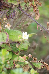 IMG_1853 (armadil) Tags: flowers blackberries ggnra moripoint moript