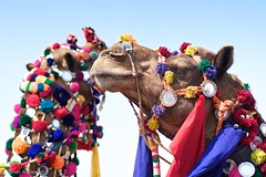 The Best Decorated Camel - 1st and 2nd (Cirrusgazer) Tags: india proud competition camels decorated jaisalmerdesertfestival