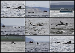 Moray Firth Bottlenose Dolphins - Chanonry Point 11/5/13 (Ally.Kemp) Tags: wild fish point highlands fishing marine hunting salmon free scottish dolphins catching mammals moray rosemarkie blackisle firth chanonry bottlenose fortrose rossshire