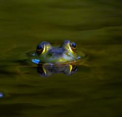 Bull frog (Shutterbug Bob) Tags: nature animal nikon wildlife amphibian frog nikkor bullfrog aquaticlife pondlife blinkagain nikond5100