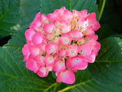 Hydrangea_4009 (Dippy Daloo) Tags: pink blue stilllife plant flower nature vertical closeup square photography stem nopeople petal simplicity hydrangea s