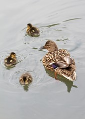 Duck with ducklings (paulgmccabe) Tags: family london nature duck pond wildlife reserve ducklings wetlands barnes protected londonwetlandcentre wetlandcentre