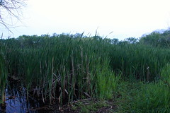 Reeds at Lincoln Marsh (danxoneil) Tags: nature marsh wheaton lincolnmarsh wheatonparkdistrict