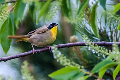 052413-5120007 (jim sonia) Tags: bird commonyellowthroat hamptonnh