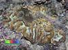 Grooved brain coral (Symphyllia sp.) (wildsingapore) Tags: nature island marine singapore underwater wildlife coastal shore intertidal seashore marinelife lazarus cnidaria wildsingapore mussidae scleractinia symphyllia lobophylliidae